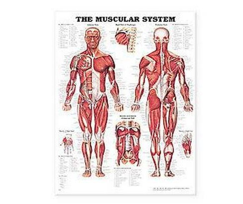 Muscular System Anatomical Chart (Paperback) (Anatomical Chart Company) - image 1 of 1