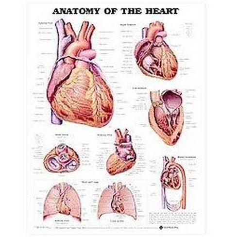 Anatomy Of The Heart Chart : (unmounted) (Paperback) - image 1 of 1
