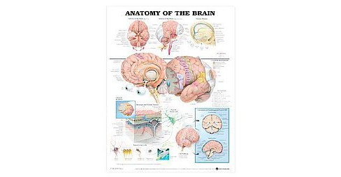 Anatomy of the Brain Anatomical Chart (Paperback) - image 1 of 1