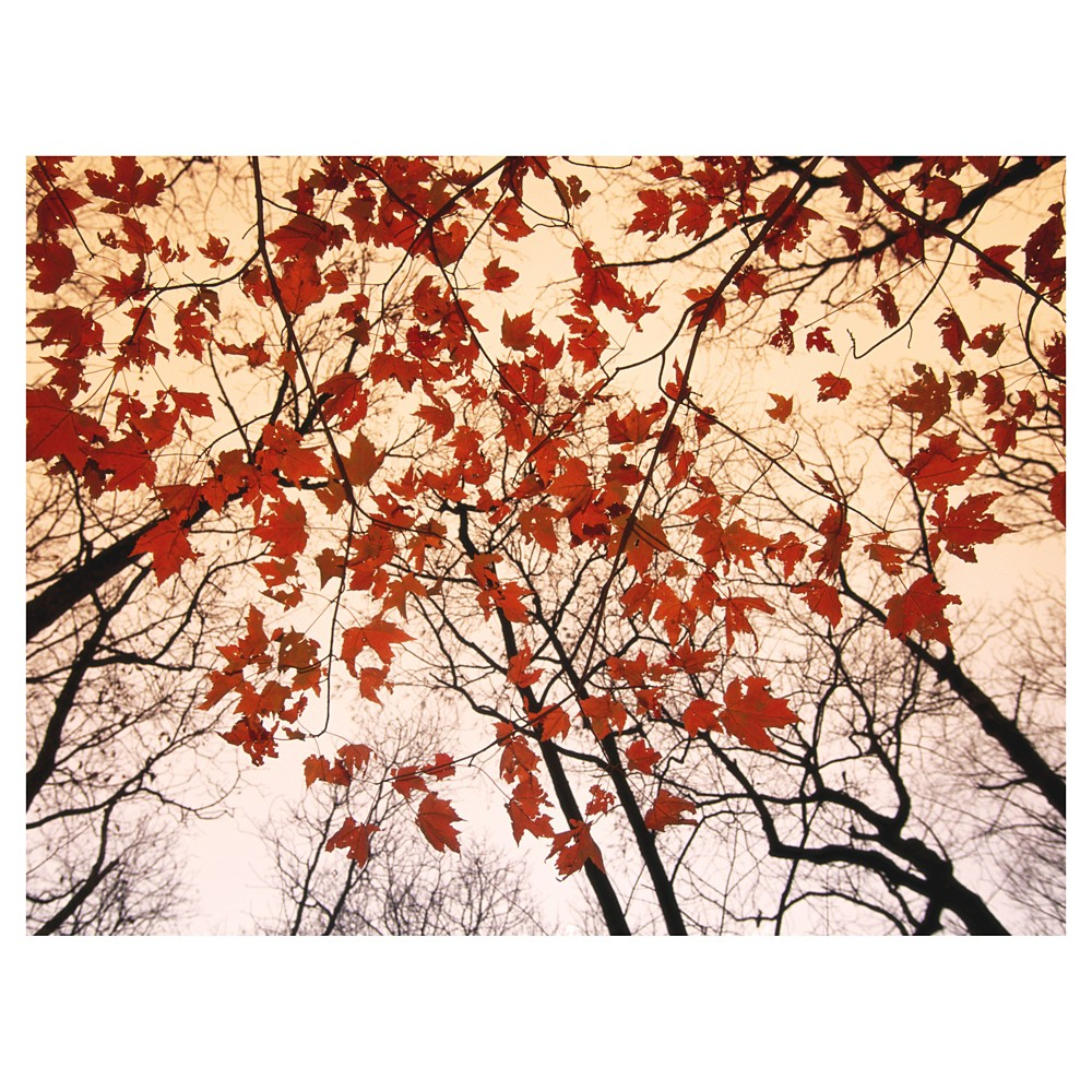 Image of Art.com Red Maple and Autumn Sky by Raymond Gehman - Art Print, Red Oak