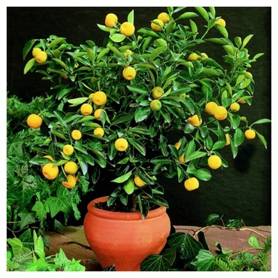 Cottage Hill Lemon 'Meyers' 2.5  Pots, 2 Piece, Citrus Tree. U.S.D.A. Hardiness Zones 8 - 11