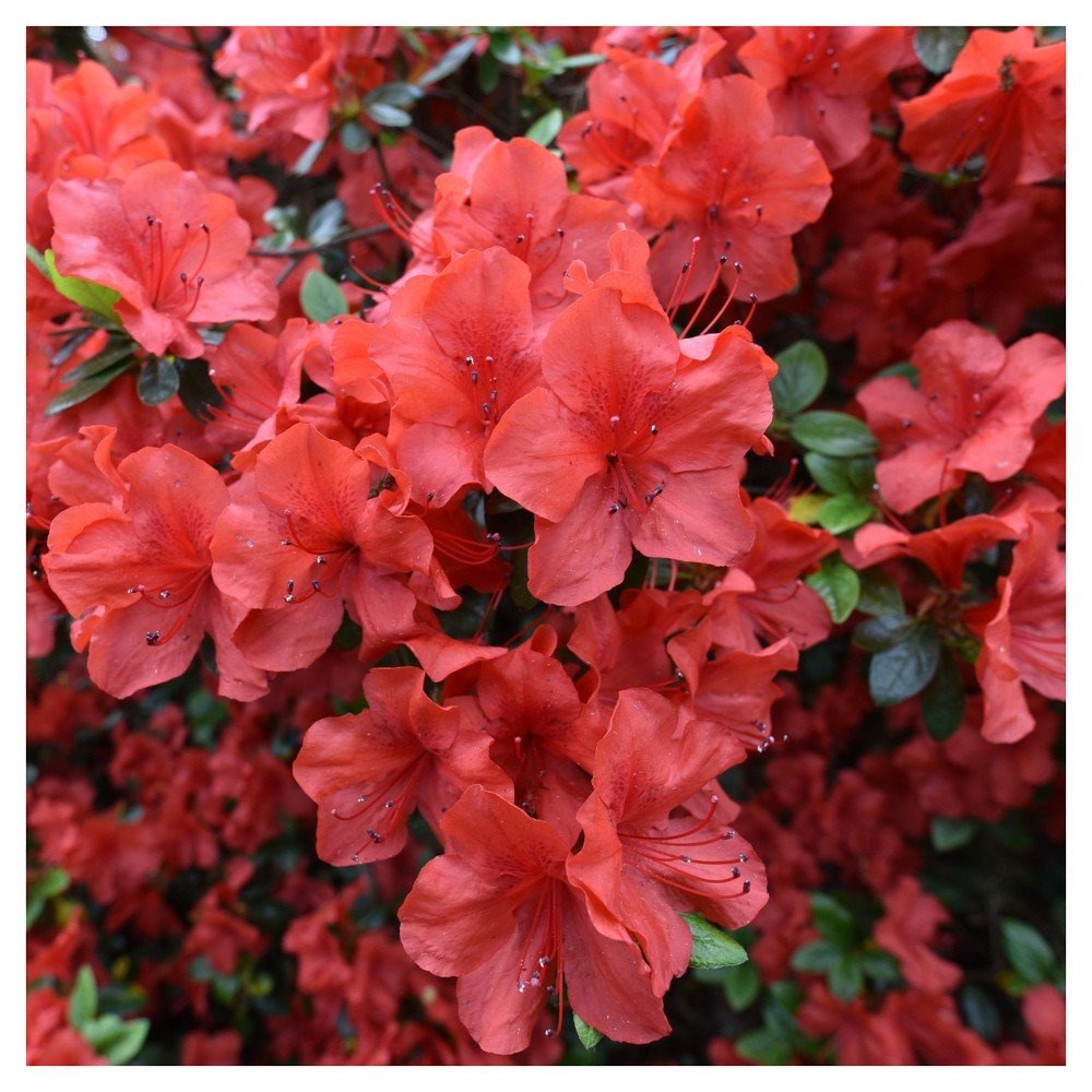 Floramore Azalea 'Red' 1pc - Cottage Hill - U.S.D.A. Hardiness Zones 7 - 9