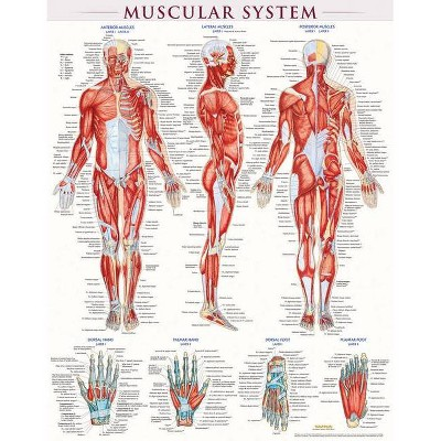 Muscular System Poster (22 X 28 Inches) - Laminated - by  Vincent Perez