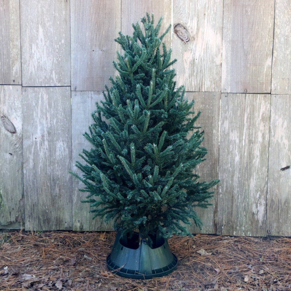 Image of 5' Live Black Hill Spruce Fresh Cut Christmas Tree - Cottage Hill Nursery