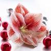Amaryllis Kit Popov with Artisan Decorative Planter - Van Zyverden - image 2 of 4
