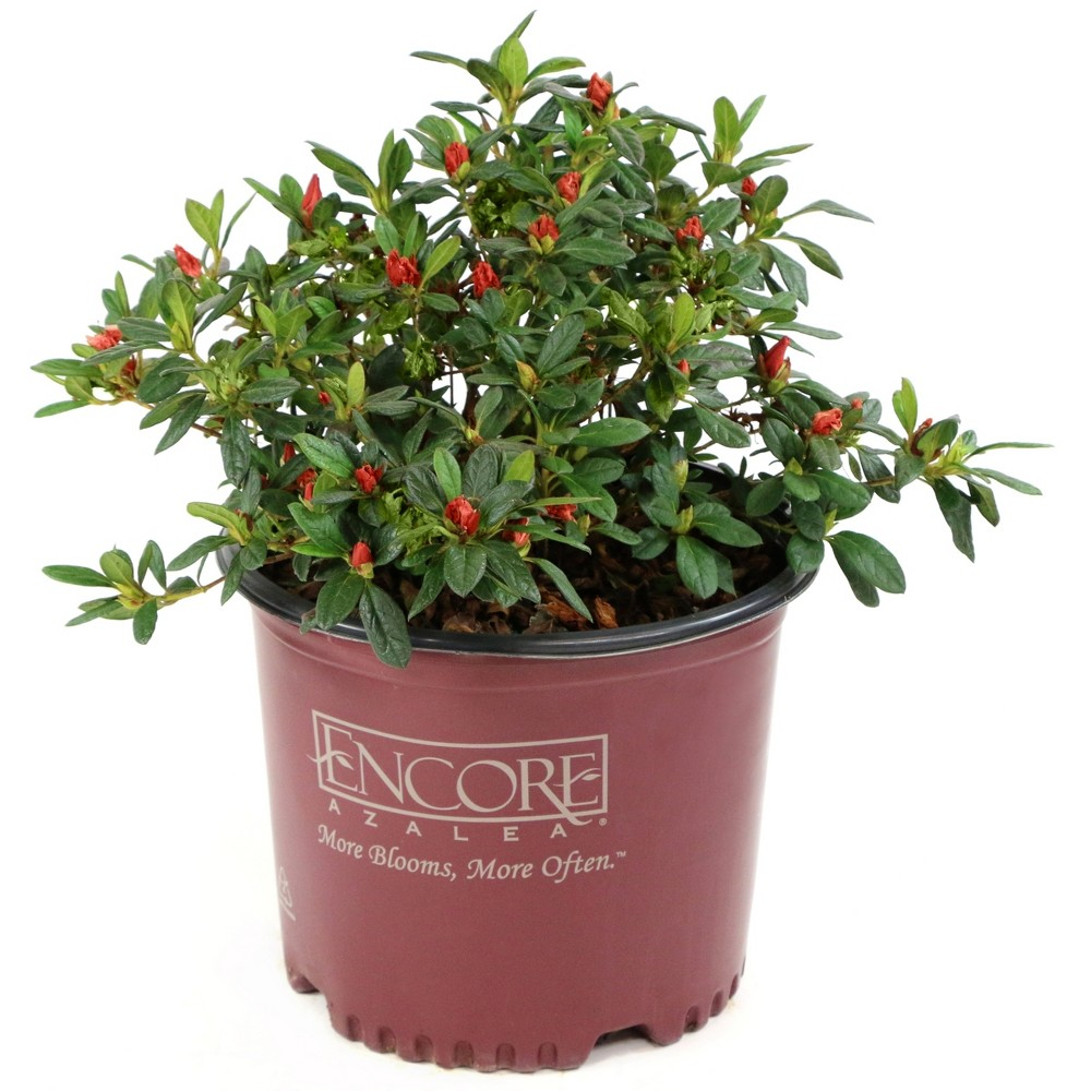 Encore Azalea 'Autumn Embers' 1pc U.S.D.A. Hardiness Zones 6-10 Cottage Hill 3gal, Green/Red