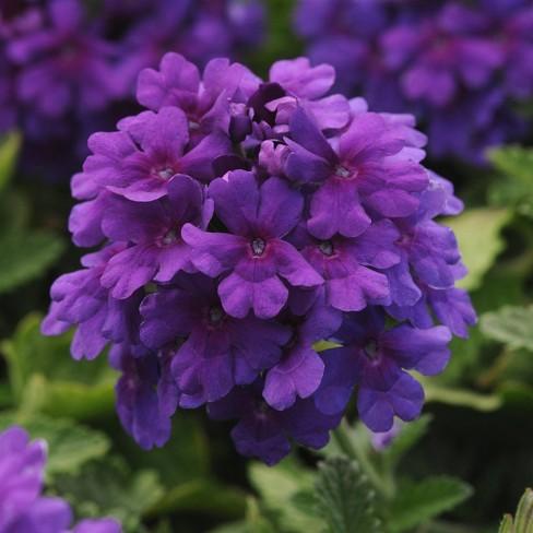 4pc Verbena EnduraScape Dark Purple - National Plant Network - image 1 of 2