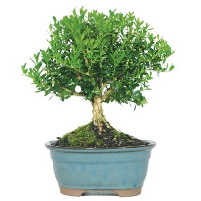 Harland Boxwood Outdoor Live Plant - Brussel's Bonsai