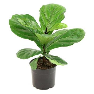 """10"""" Fiddle Leaf Fig Plant - National Plant Network"""