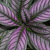 4pc Persian Shield Purple - National Plant Network - image 2 of 3