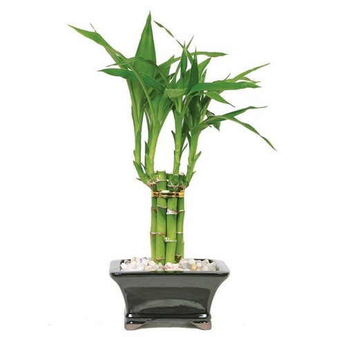 Small Lucky Bamboo Pyramid 1 Layer Indoor Live Houseplant