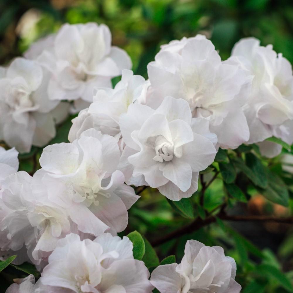 Azalea 'Hardy Gardenia' 2.25gal U.S.D.A. Hardiness Zones 6-9 - 1pc - Cottage Hill