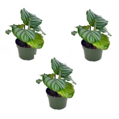 3pk Calathea Orbifiolia Plant - National Plant Network