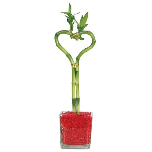 Heart Shaped Bamboo Indoor Live Houseplant - Brussel's Bonsai - image 1 of 1