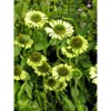 3pc Echinacea Green Jewel - National Plant Network - image 3 of 3