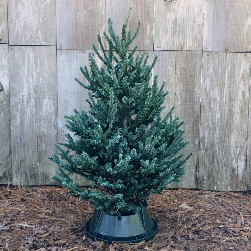 Image of Live Black Hill Spruce Fresh Cut Table Top Christmas Tree - Cottage Hill Nursery