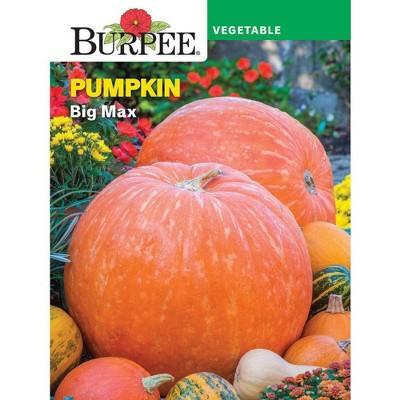 Burpee Pumpkin Big Max
