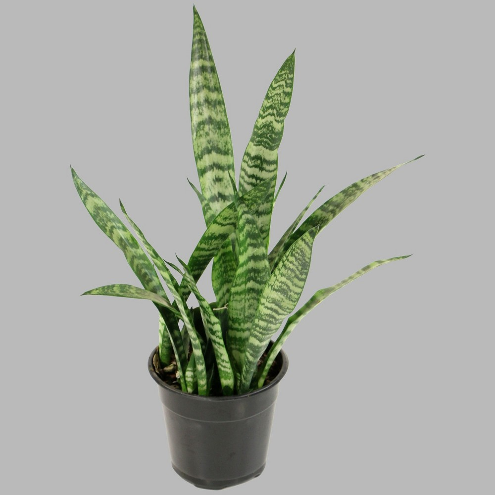 Image of 1pc Snake Plant - Cottage Hill
