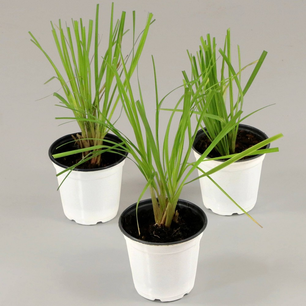Image of 3pc Lemon Grass Collection - Cottage Hill