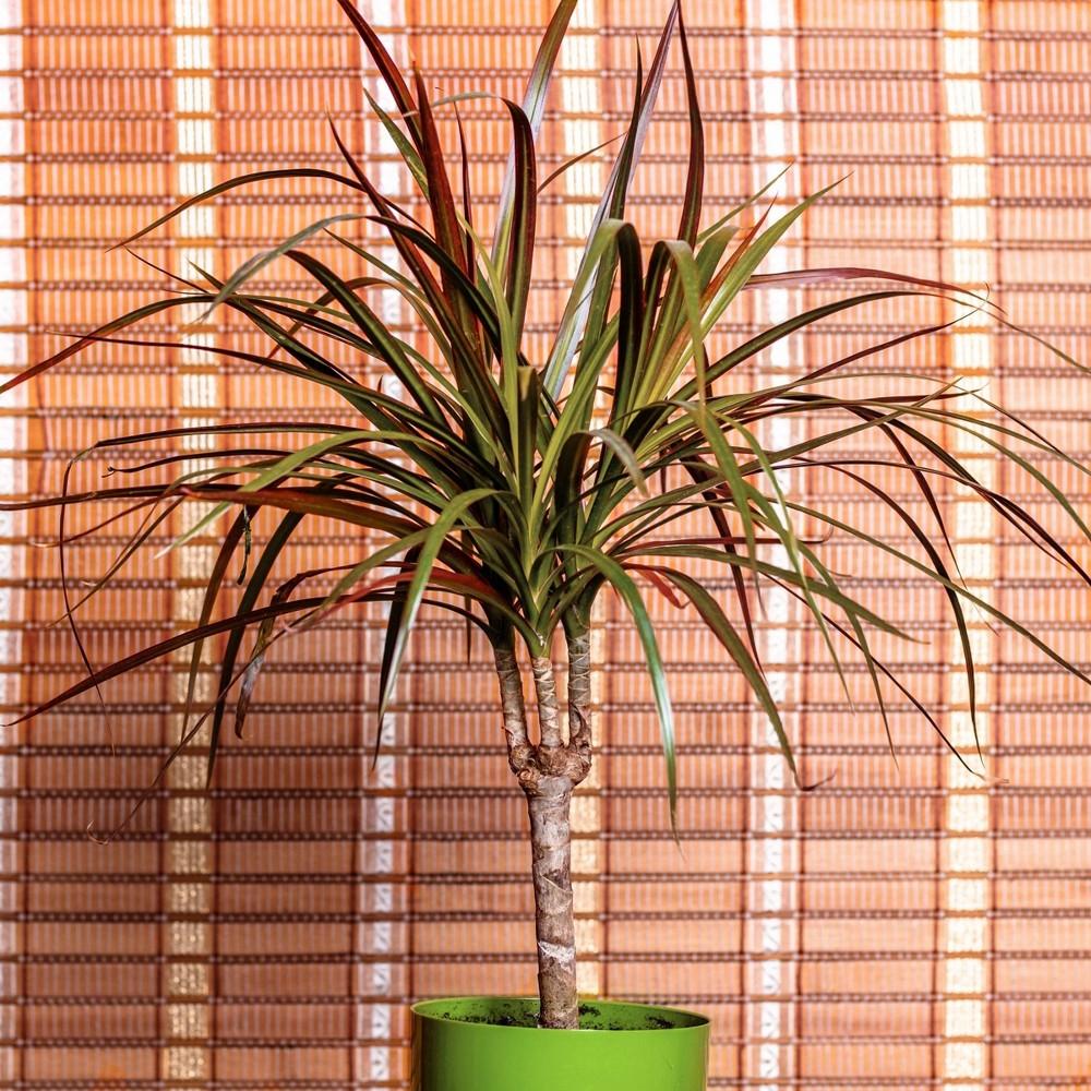 Image of 3pc 'Magenta' Dracaena - National Plant Network