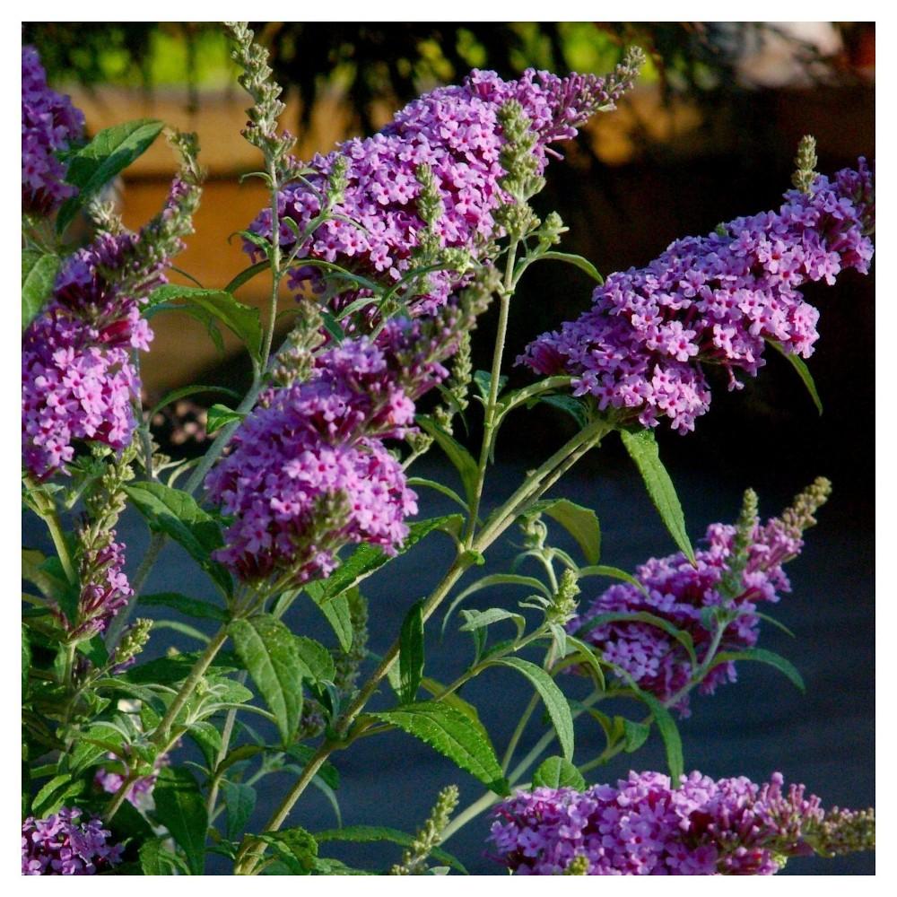 Buddelia 39 Nanho Purple 39 1pc National Plant Network U S D A Hardiness Zone 5 9 2 25 Gallon