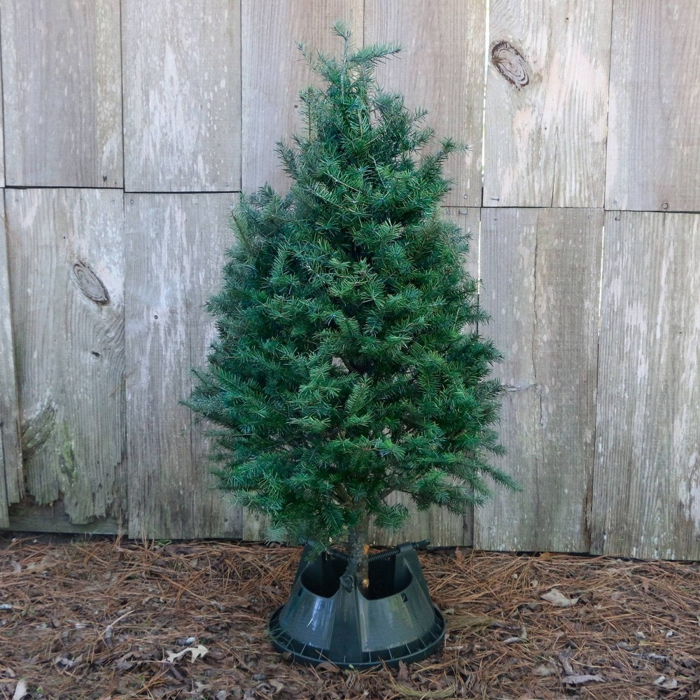 Image of Live Michigan Douglas Fir Fresh Cut Christmas Tree - Cottage Hill Nursery