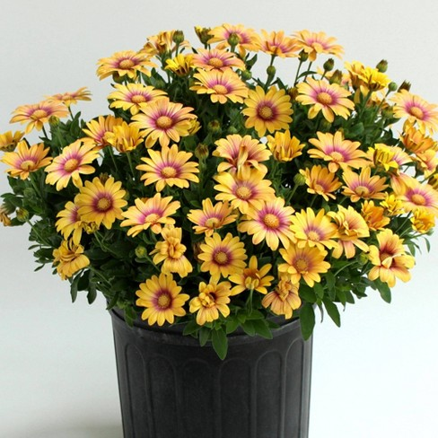 3pc African Daisy Blushing Beauty - National Plant Network - image 1 of 3