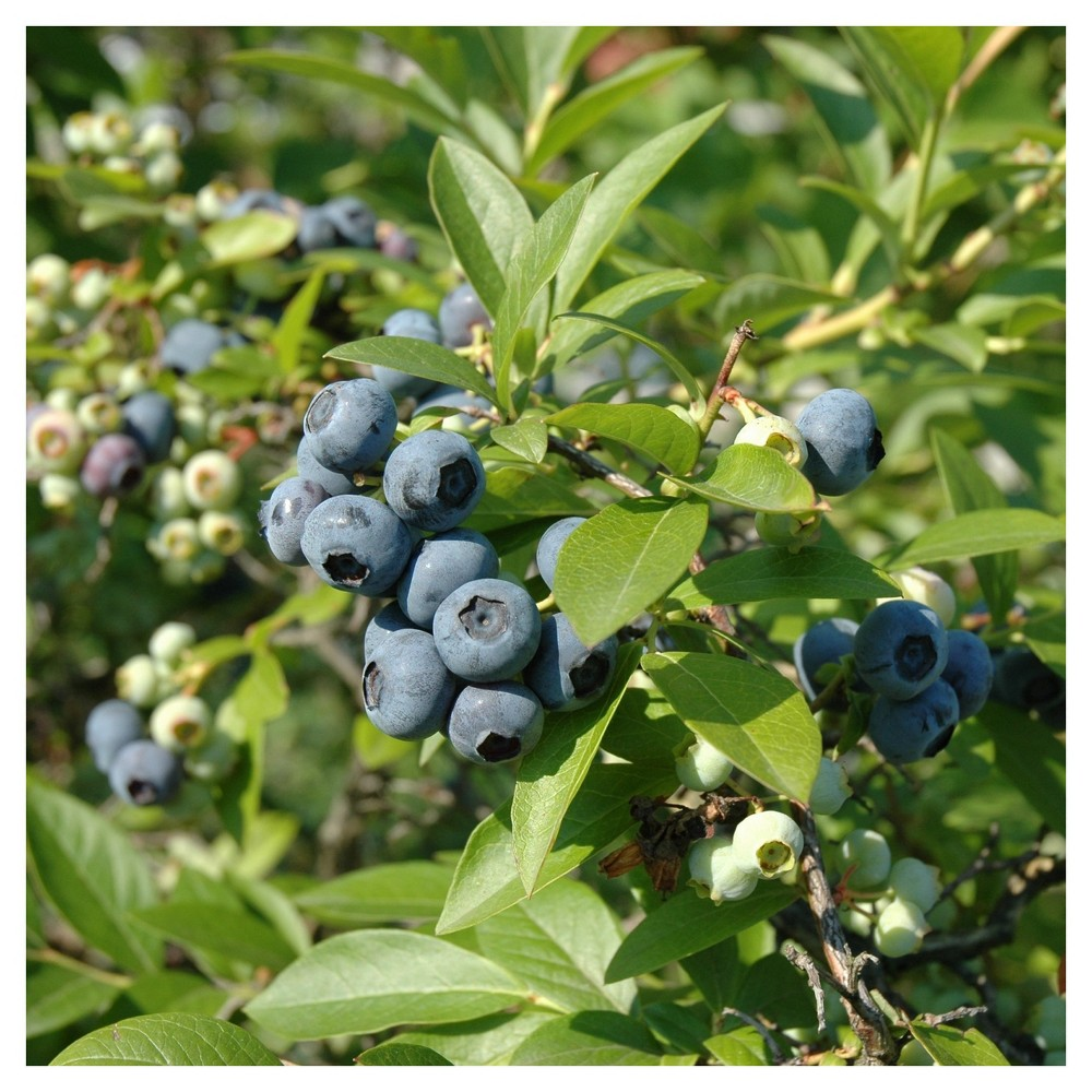 Image of Bluberry 'Tift' 1pc - Cottage Hill U.S.D.A Hardiness Zone 7-9 - 2.5 Quart