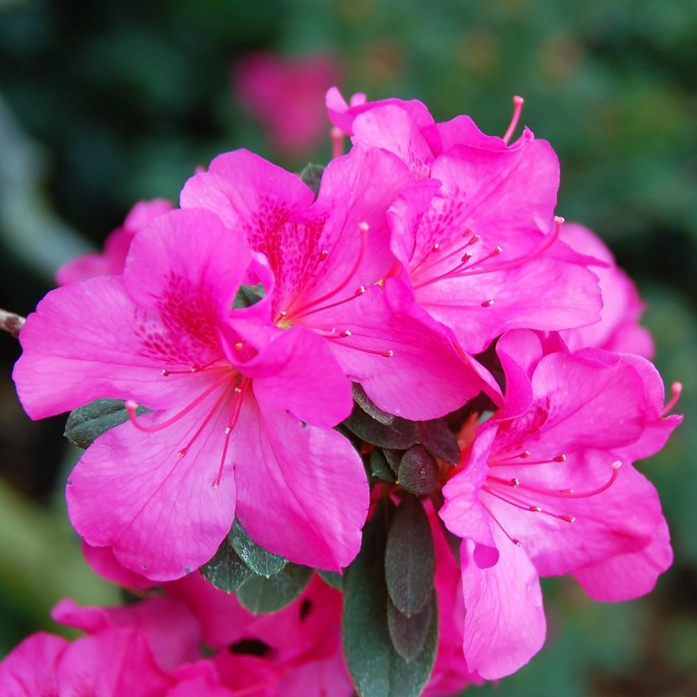 Azalea 'Judge Solomon' 2.5qt U.S.D.A. Hardiness Zones 7-10 - 1pc - Cottage Hill, Green/Pink