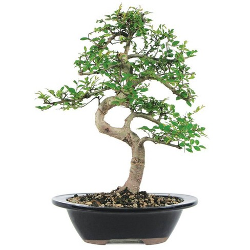 Medium Chinese Elm Outdoor Live Plant - Brussel's Bonsai - image 1 of 1