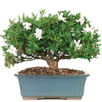 Extra Large Gardenia Outdoor Live Plant - Brussel's Bonsai