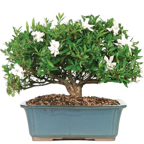 Extra Large Gardenia Outdoor Live Plant - Brussel's Bonsai - image 1 of 1