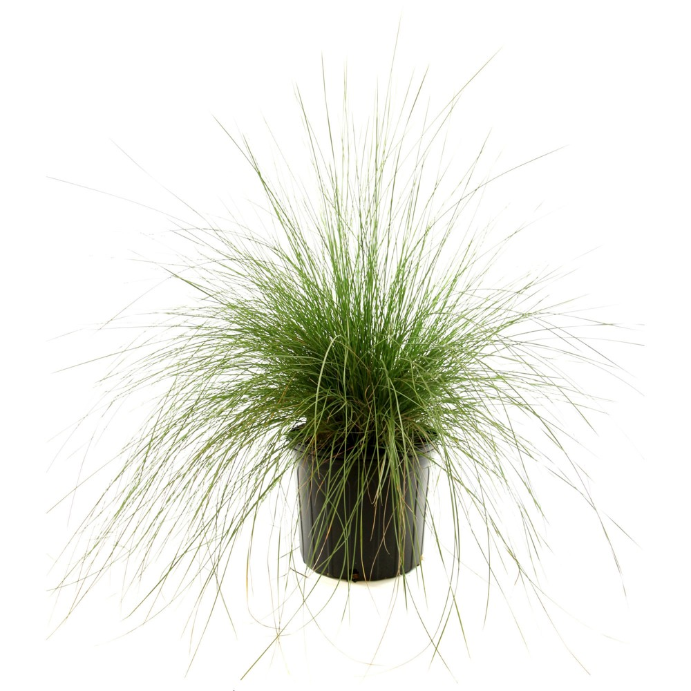 Image of White Muhly Grass 1pc U.S.D.A. Hardiness Zones 6-10 Cottage Hill 2.5qt