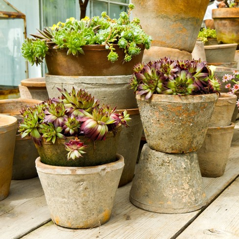 10pc Sempervivum Collection - National Plant Network - image 1 of 4