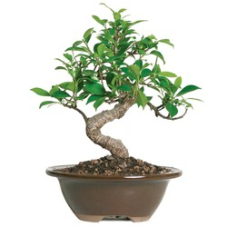 Small Golden Gate Ficus Indoor Live Houseplant - Brussel's Bonsai