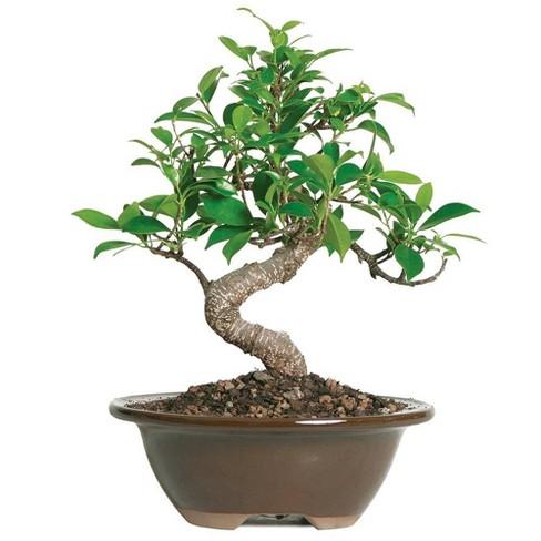 Small Golden Gate Ficus Indoor Live Houseplant Brussel S Bonsai Target