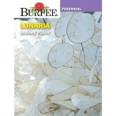 BURPEE Lunaria Money Plant - Green
