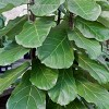 1pc Fiddle Leaf Fig - National Plant Network - image 2 of 3
