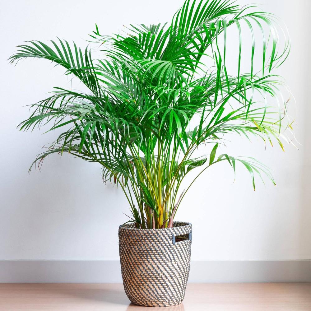 Image of Majesty Palm - National Plant Network
