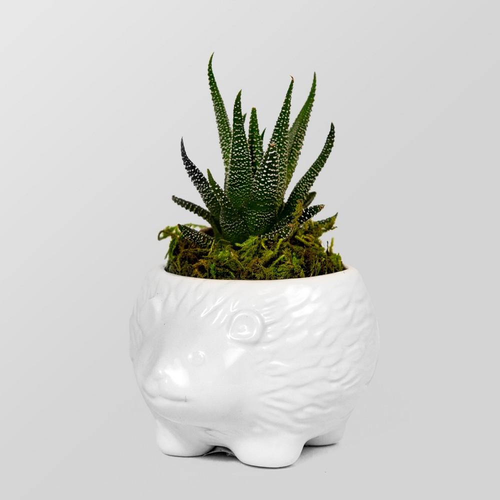 Image of Live Succulent in Hedgehog Pot