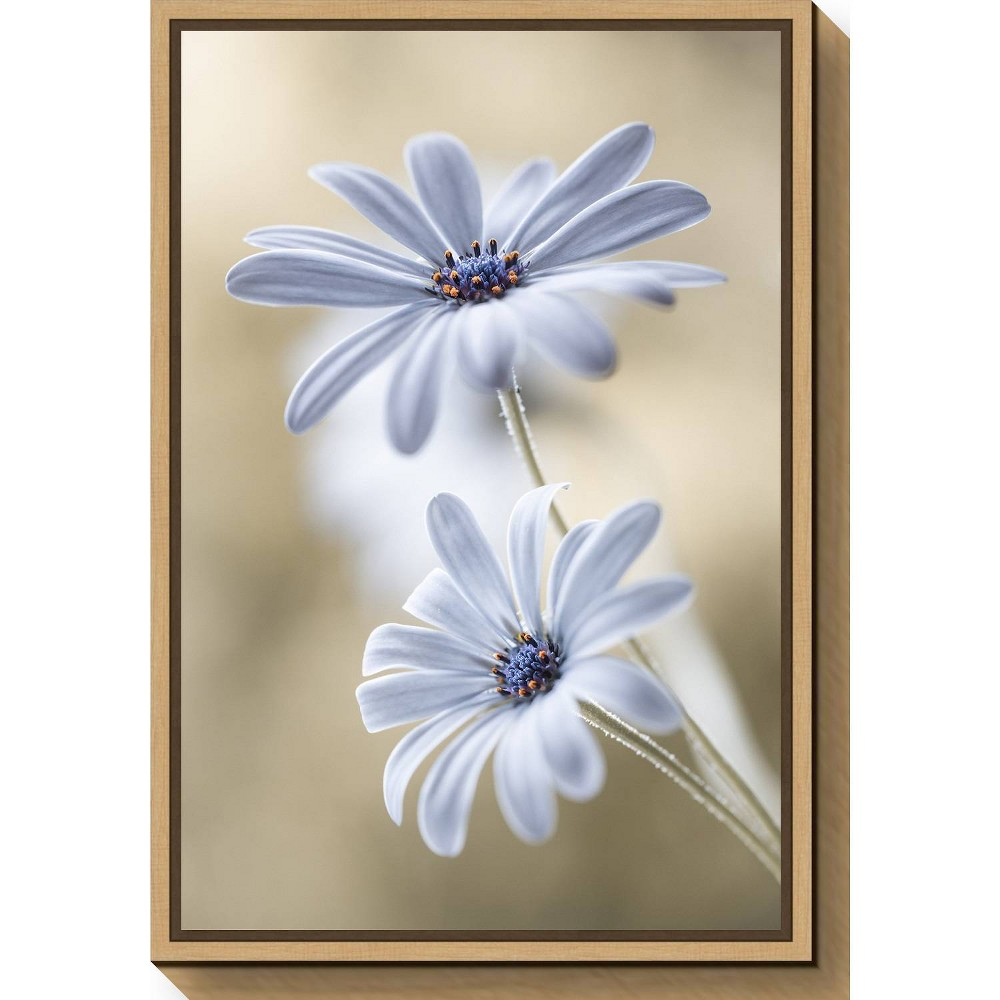 "Image of ""16"""" X 23"""" Cape Daisies By Mandy Disher Maple - Amanti Art, Gray White"""