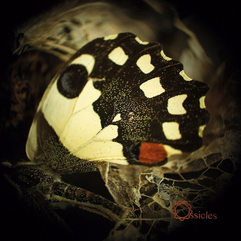 Ossicles - Music for wastelands (CD) - image 1 of 1