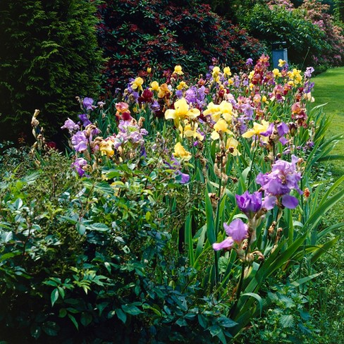 Iris Germanica Naturalizing Mixture Set of 21 Roots - Mixed - Van Zyverden - image 1 of 3