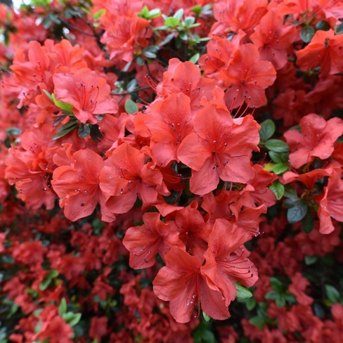 Azalea 'Amagasa' U.S.D.A. Hardiness Zones 7-9 - 1pc - Cottage Hill - image 1 of 2