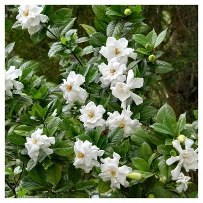 Gardenia 'Frostproof' 1pc - National Plant Network U.S.D.A Hardiness Zone 7-11