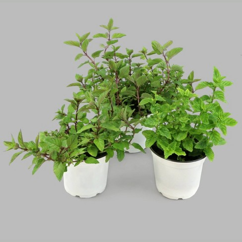 "Burpee Herb 'Peppermint' 1pc Seasonal Grown In All U.S.D.A. Hardiness Zones Cottage Hill 4"" - image 1 of 7"