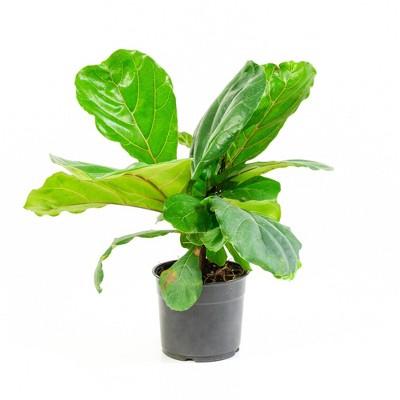 1pc Fiddle Leaf Fig - National Plant Network