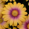 3pc African Daisy Blushing Beauty - National Plant Network - image 2 of 3