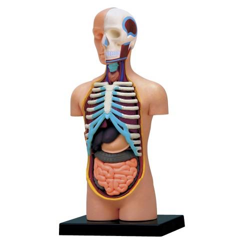 4d Master Human Torso Anatomy Model 32pc Target