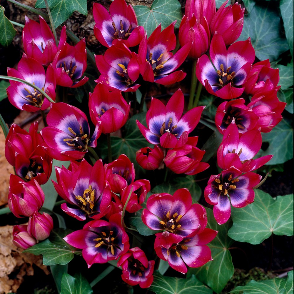 Tulips Little Beauty Set of 12 Bulbs - Red/Blue With Centre - Van Zyverden